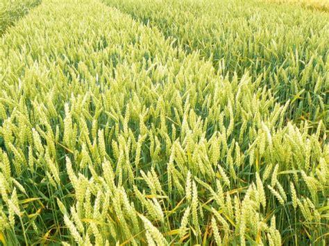 Vai ziemas kviešu šķirnes piemērotas meteoroloģisko ...