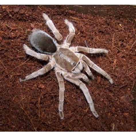 australian tarantulas bird eating spiders amazing amazon