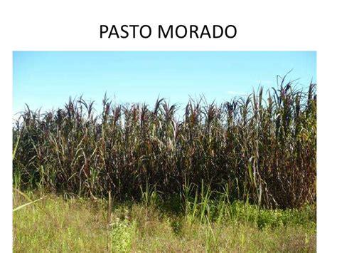 Pasto Cuba 22 , Maralfalfa Y Otros