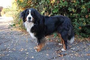 Berner Sennenhund Gewicht : hunde rassehunde bernersennen tieranzeigen ~ Markanthonyermac.com Haus und Dekorationen