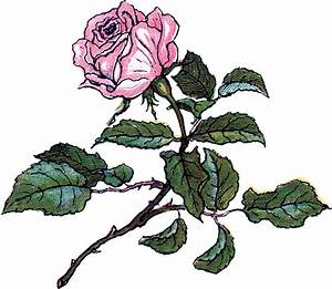 Vintage Rose Illustration  U2013 Super Pretty