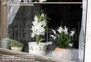 Zimmerpflanze Weiße Blüten : dendrobium orchideen pflege als zimmerpflanze zimmerorchidee berwintern bilder fotos ~ Markanthonyermac.com Haus und Dekorationen