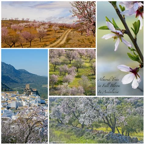 almond chaplow michelle groves andalucia trees months february january bloom