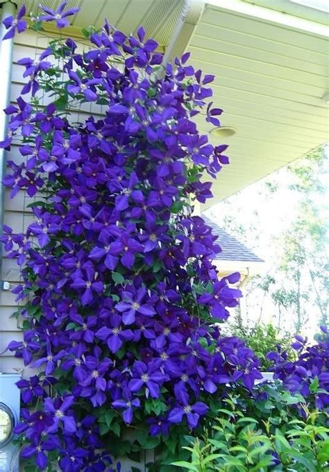 bushes that bloom all summer perennial flowers that bloom all summer 1000x1000 jpg yard pinterest clematis hydrangea