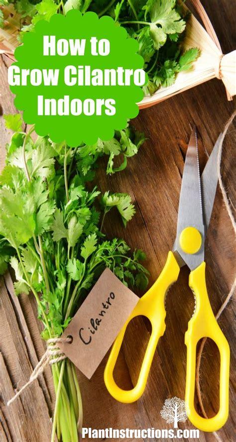 grow cilantro indoors herb garden edible garden