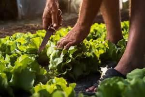 Wann Süßkartoffeln Ernten : kopfsalat wann ist erntezeit ~ Buech-reservation.com Haus und Dekorationen
