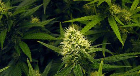 les engrais modifient ils le go 251 t du cannabis proposez vos news cannaweed