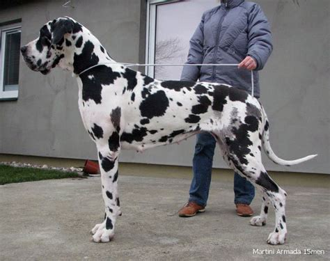 great dane colors harlequin 1000 images about colors great dane harlequin on