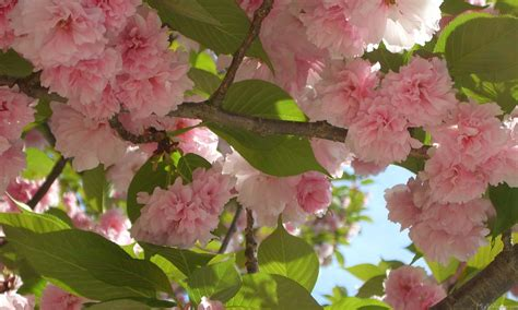 flowering trees pink blossoms mlewallpapers com double blossoming cherry trees iii