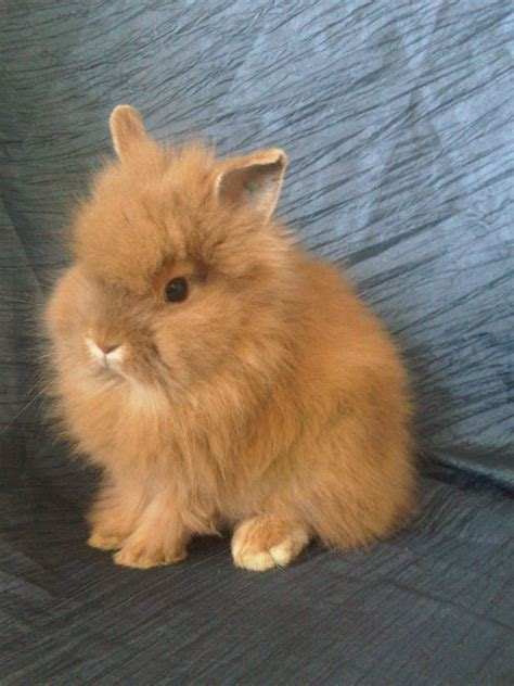 The Example Of Rabbit Breeds Lionhead Rabbit – All About