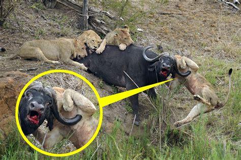 bridge suite feeling gets impaled on buffalo 39 s horn when
