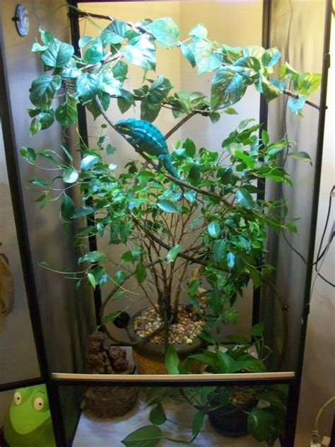 chameleon panther habitat cage setup chameleons facts care enclosure veiled terrarium baby pet cycle reptile diet screen animalspot colorful plant