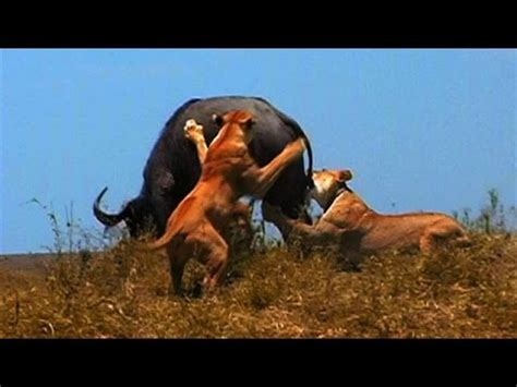 Documentary National Geographic  Animal Attack Youtube