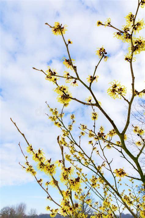 im winter blühende blumen bl 252 hender haselnussstrauch mit gelben blumen im winter stockfoto bild 79717142