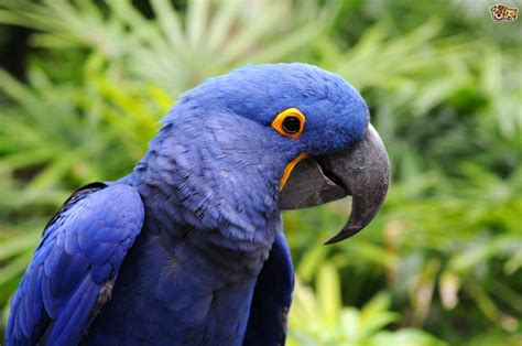 The Hyacinth Macaw
