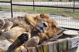 Big cats rehabilitated at Turpentine Creek Wildlife Rescue