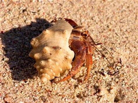 what happens to a hermit crab if its claw comes off