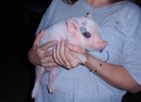 baby pot belly pigs animal actor s of hollywood inc official website