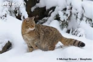 cat habitat wildcat photos and facts felis silvestris arkive