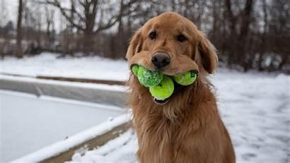 Retriever Golden Dog Tennis Balls Mouth Ball