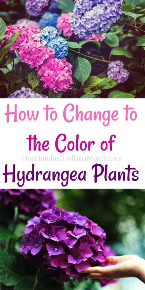How To Change The Color Of Your Hydrangea Plants One