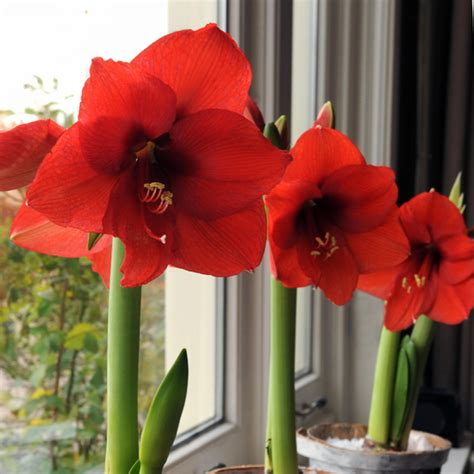 how to bulbs for gorgeous indoor bloom and color