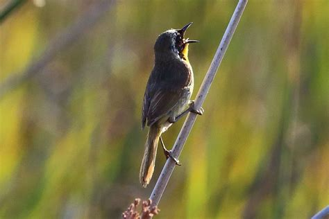 different types of birds that sing hear singing birds at learn why they do it
