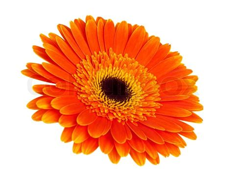 orange gerbera stock photo colourbox
