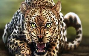 Angry Wild Leopard Animal HD Desktop Wallpaper Background