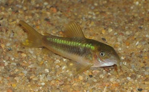 aquarium poisson eau douce aquarium eau douce poisson de fond