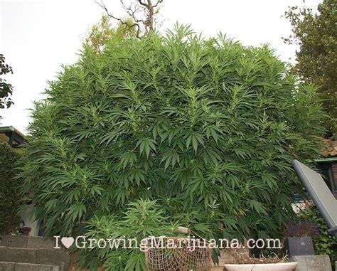 les engrais pour marijuana les mieux et les plus populaires i growing marijuana