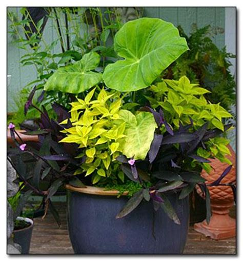 elephant ear plants in pots container drainage myth doing away with this old method of container gardening will help your