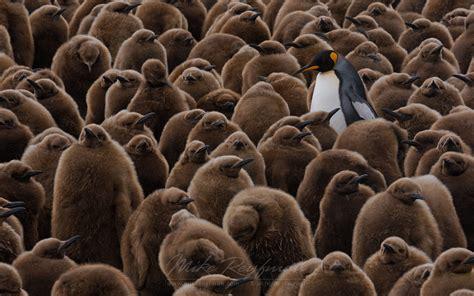 kingpin king penguin aptenodytes patagonicus creche