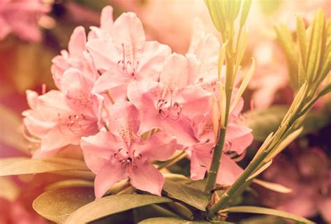 how to plant a rhododendron shrub how to plant colorful flowering azaleas rhodos espoma