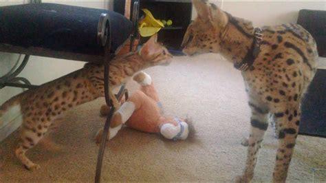 serval meets savannah    time youtube