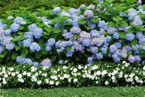 hydrangea pictures all summer beauty hydrangea dirt simple