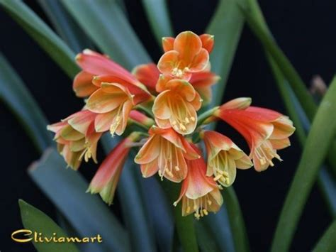 buy clivia plants seeds for sale from clivia usa home