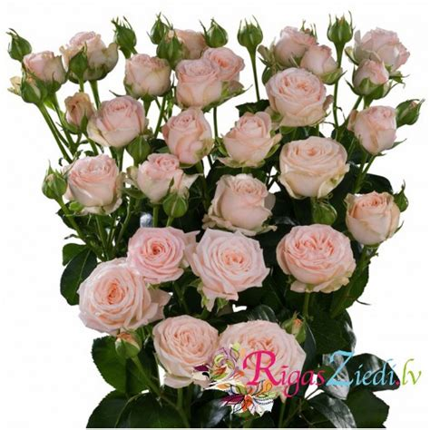 Rozā krūmu rozes, ziedu garums 50-60 cm. | Rīgas Ziedi