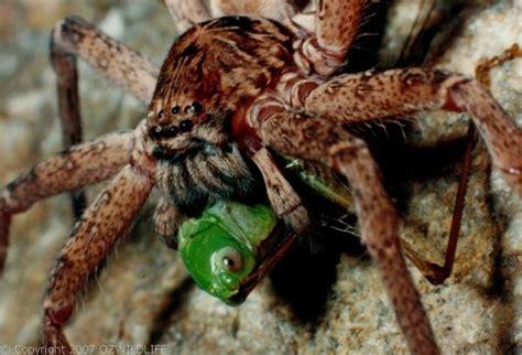brown huntsman spider heteropoda jugulans