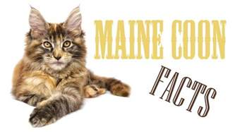 maine coon cat facts maine coon cat facts figures and vital information for