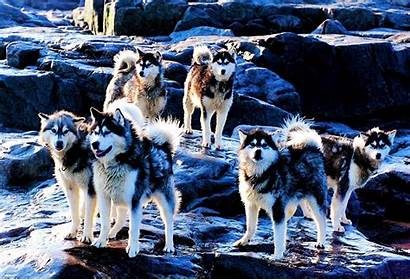 Husky Huskies Dog Dogs Wallpapers Breed Pack