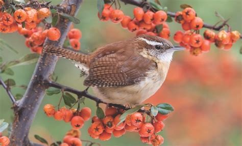 wild birds unlimited what carolina wrens eat in the winter