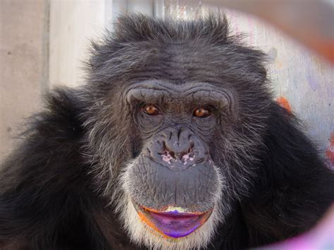 chimpanzee artists  competing   vote  huffpost