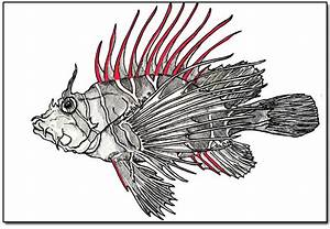 Related Keywords  U0026 Suggestions For Lionfish Diagram
