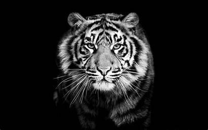 Tiger Wallpapers Galaxy Samsung 1920a 1200