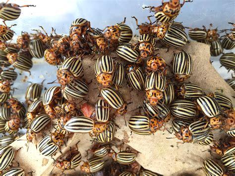 Colorado potato beetle genome gives insight into major ...