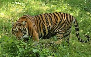 Wild Tiger Population Increases For First Time in 100 Years