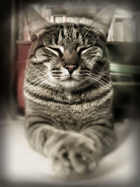 cats zen cat meditation wise meditate kitty yoga too