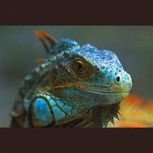 Blue Iguana | Flickr - Photo Sharing!