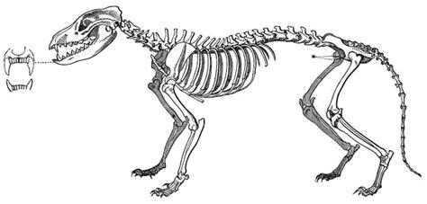 thylacine skeleton animalsextinctmammalmarsupial